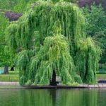albero-150x150